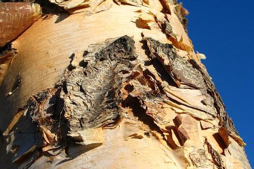 Een ruwe huid zoals die van psoriasis lijkt een beetje op de schors van een boom