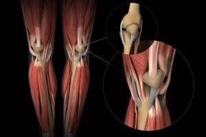 anatomie van de knie - acupunctuur Purmerend